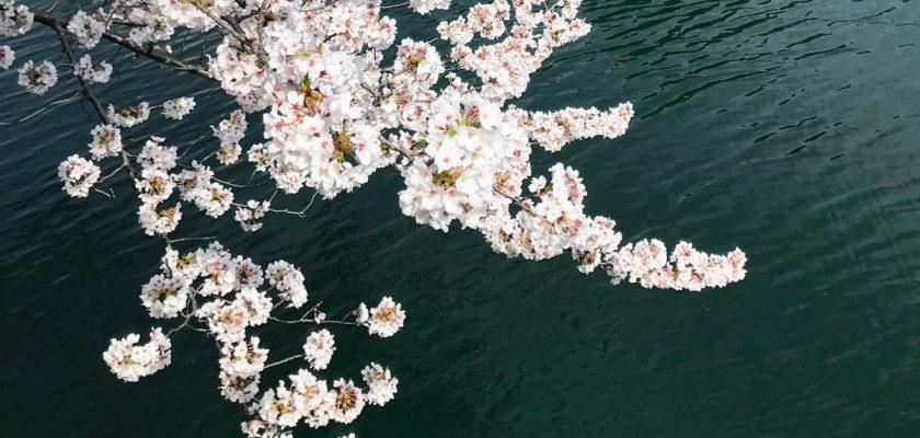 東京ショールーム周辺情報|スタッフオススメの穴場お花見スポット<FBアーカイブ>